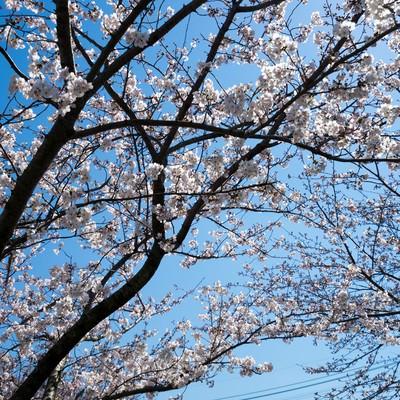 桜の花と青空の写真