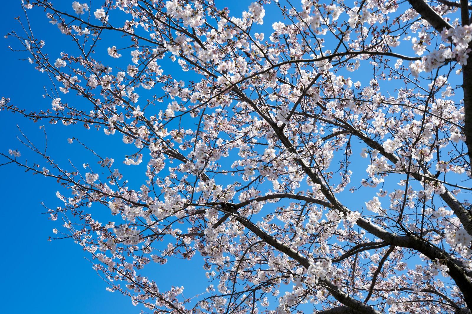 「桜の開花桜の開花」のフリー写真素材を拡大