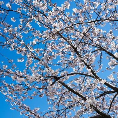桜の開花の写真