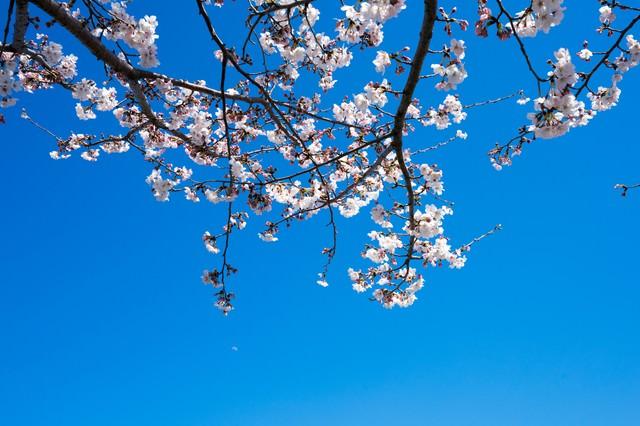 快晴の空と桜の写真