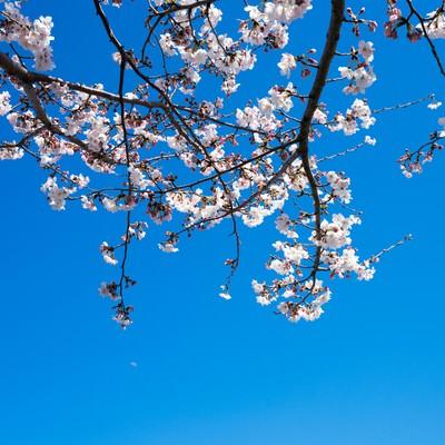 「快晴の空と桜」の写真素材