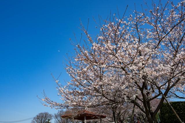青空と桜(七分咲き)の写真