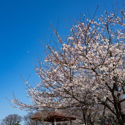 「青空と桜(七分咲き)」の写真素材