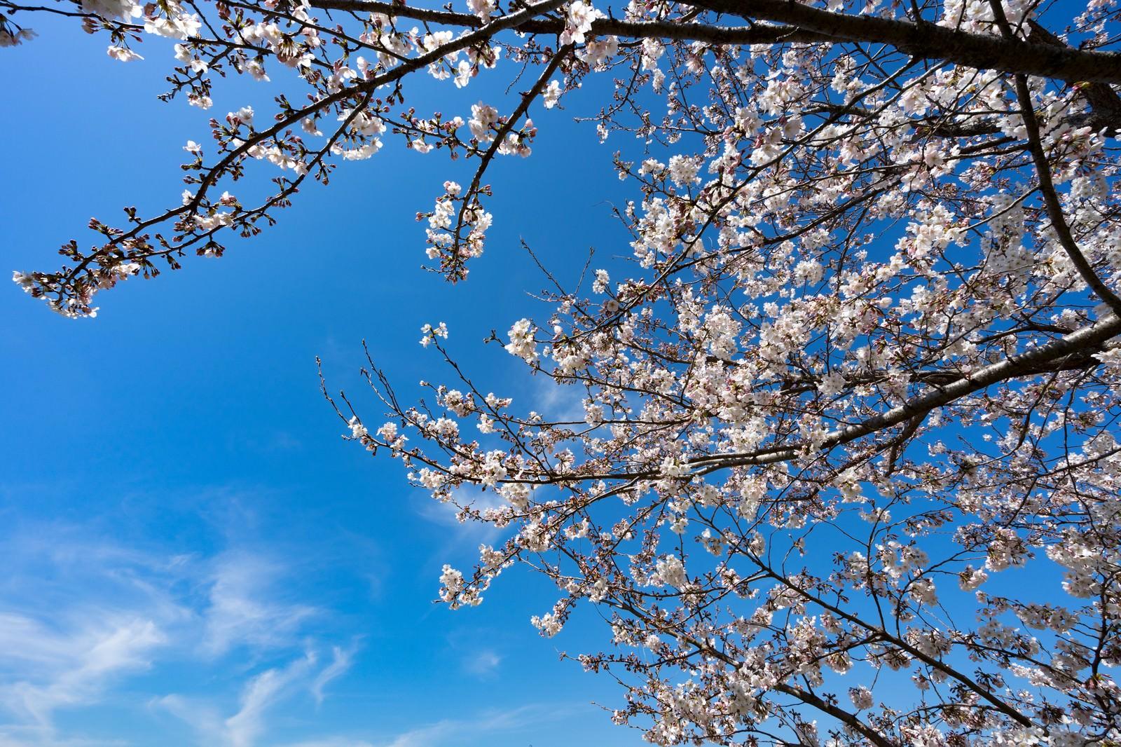 「七分咲きの桜」の写真