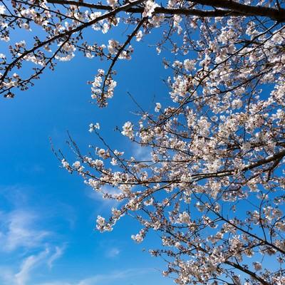 七分咲きの桜の写真