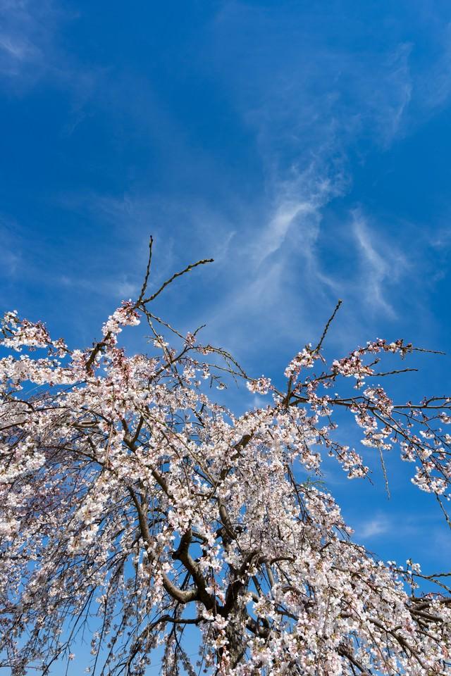 枝垂れ桜と青い空の写真