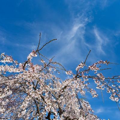 「枝垂れ桜と青い空」の写真素材