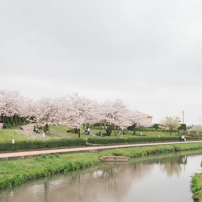 「大刀洗公園で花見をする人たち」の写真素材