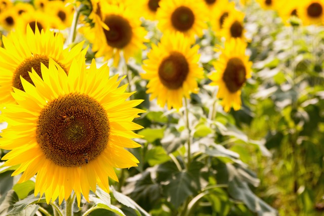 連日の猛暑と向日葵の花の写真