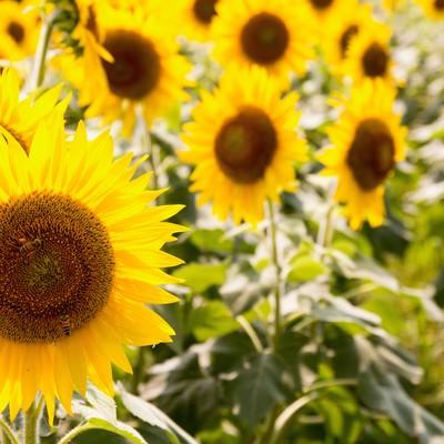 「連日の猛暑と向日葵の花」の写真素材