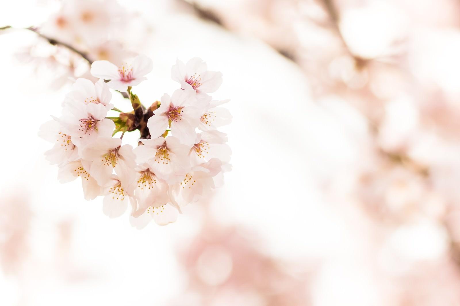 「桜の花」の写真
