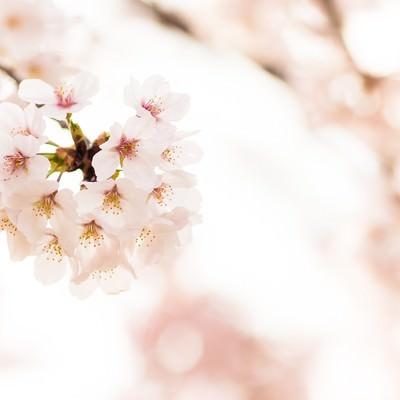 「桜の花」の写真素材