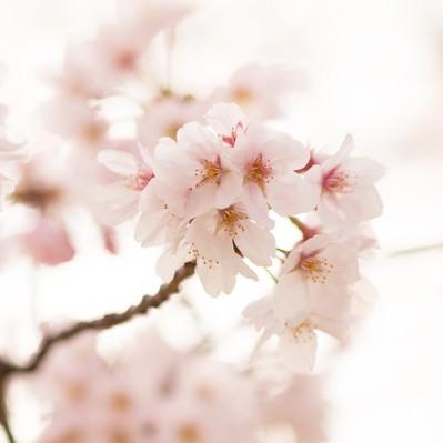 「サクラの花」の写真素材