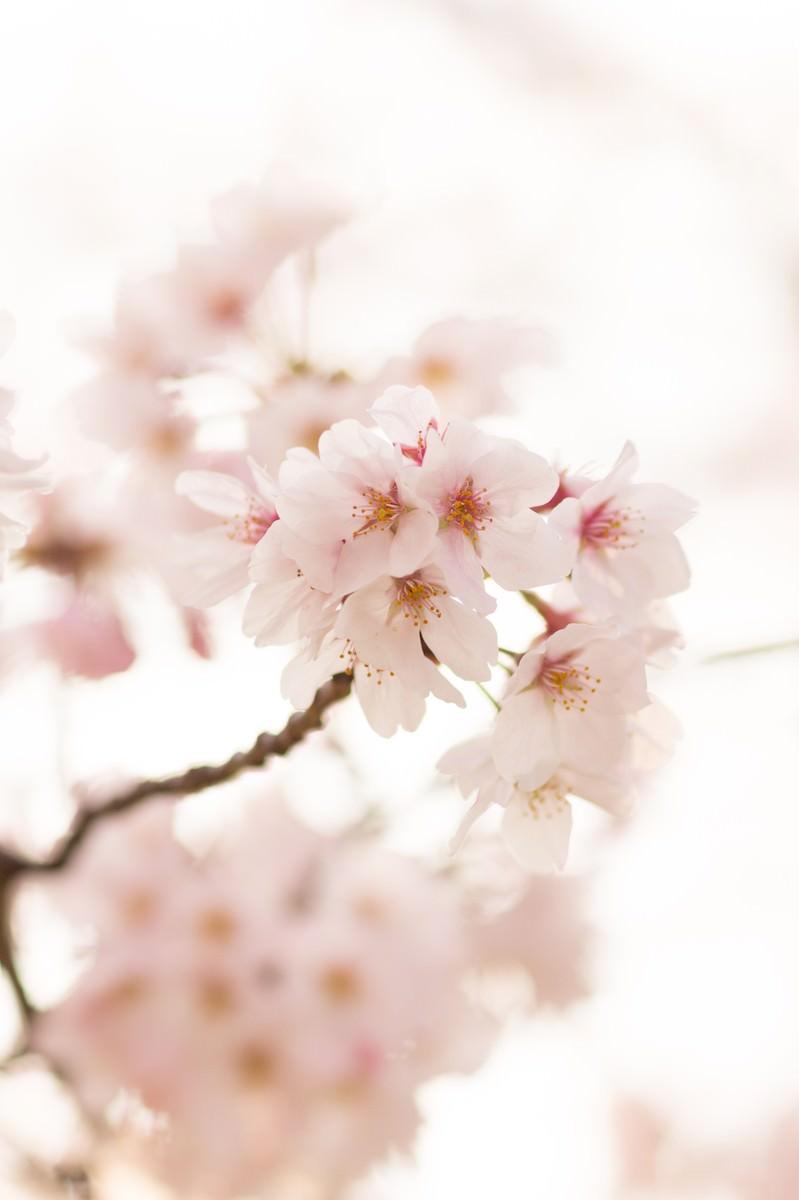 「サクラの花 | ぱくたそフリー素材」の写真