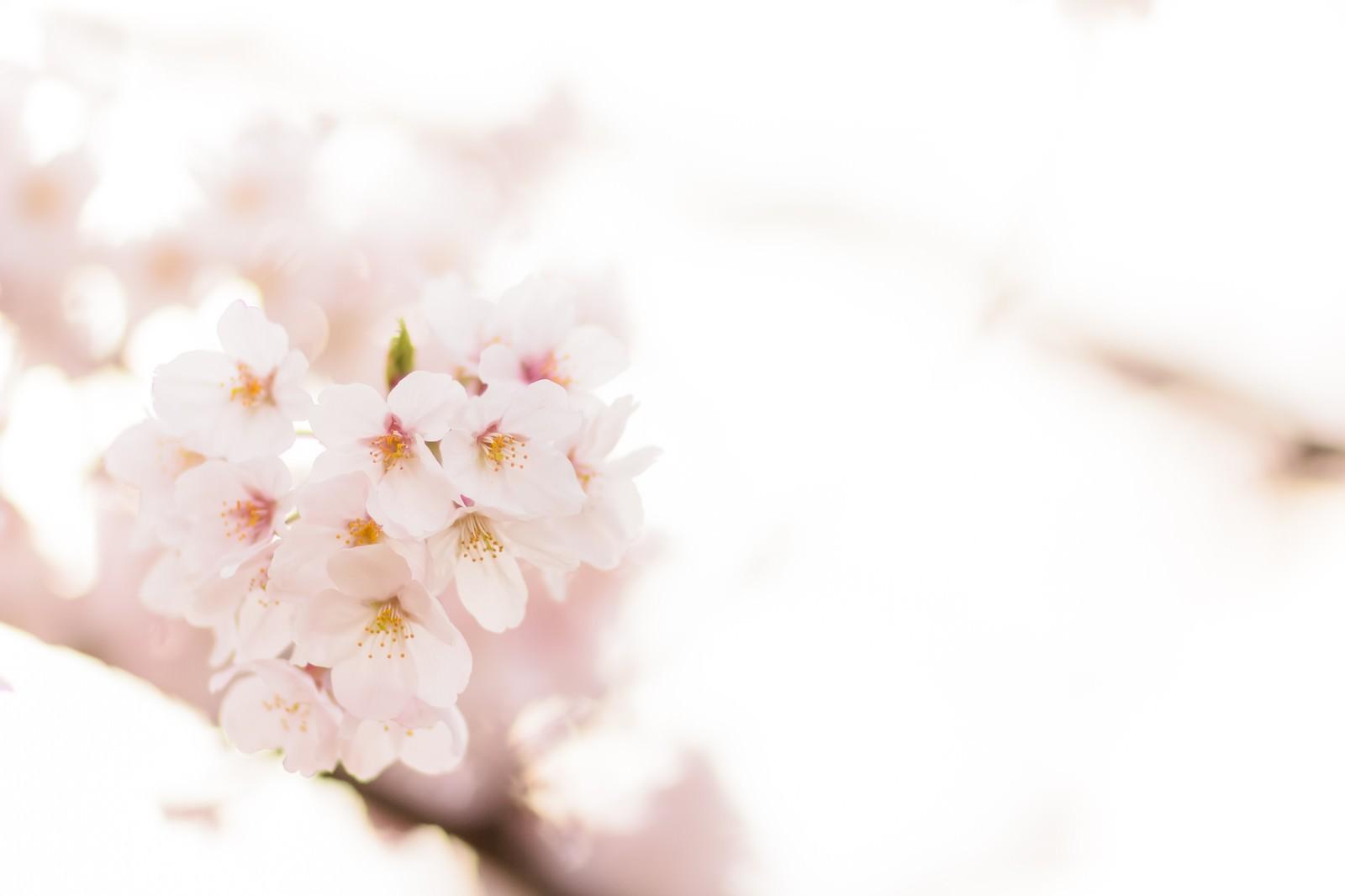 「桜の季節」
