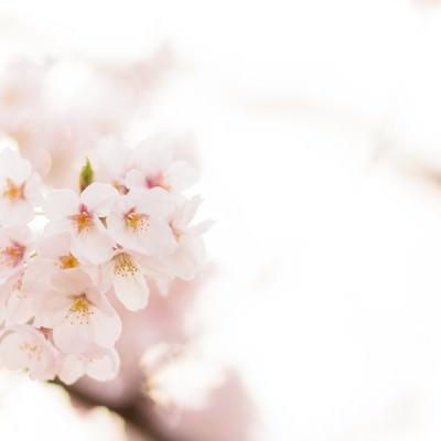 「桜の季節」の写真素材