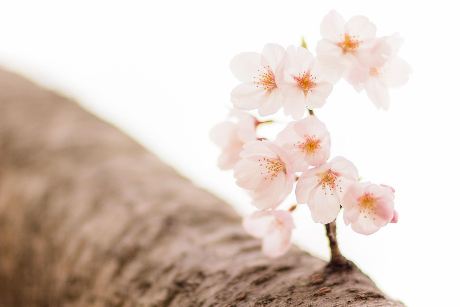 「桜と枝」の写真