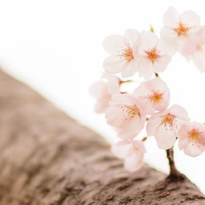 桜と枝の写真