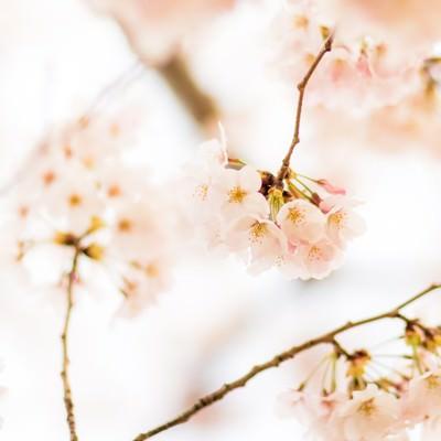 「春爛漫」の写真素材