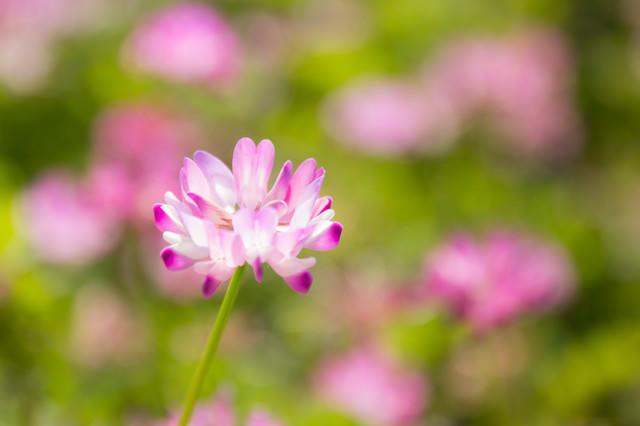 野原に咲く蓮華草(レンゲソウ)の写真