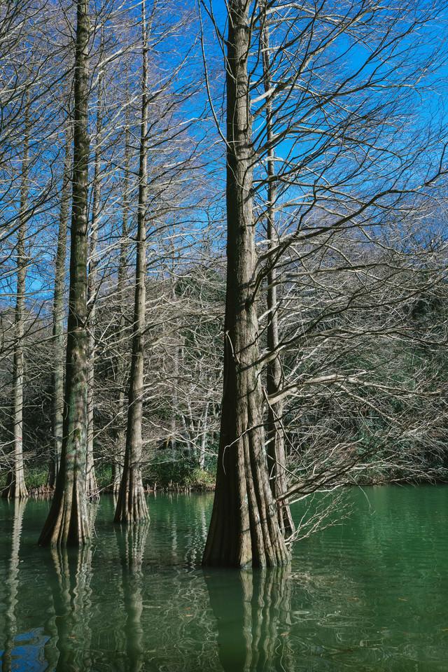 池に浮かぶ巨木(篠栗九大の森)の写真