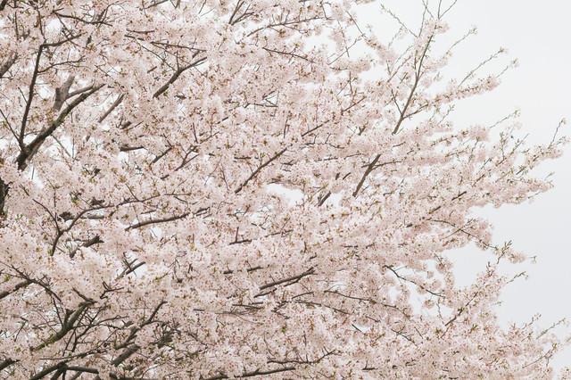 曇り空と桜の花の写真