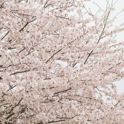 「曇り空と桜の花」の写真素材