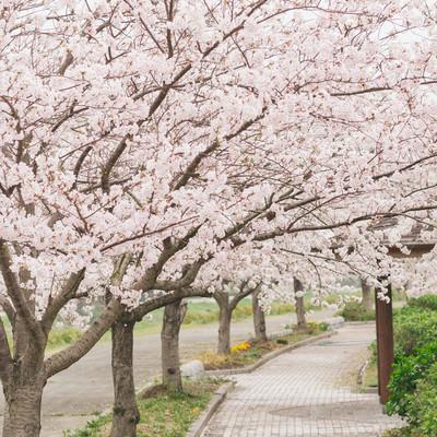 「歩道の側に咲く桜並木」の写真素材