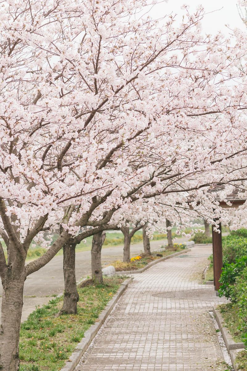 「歩道の側に咲く桜並木」の写真