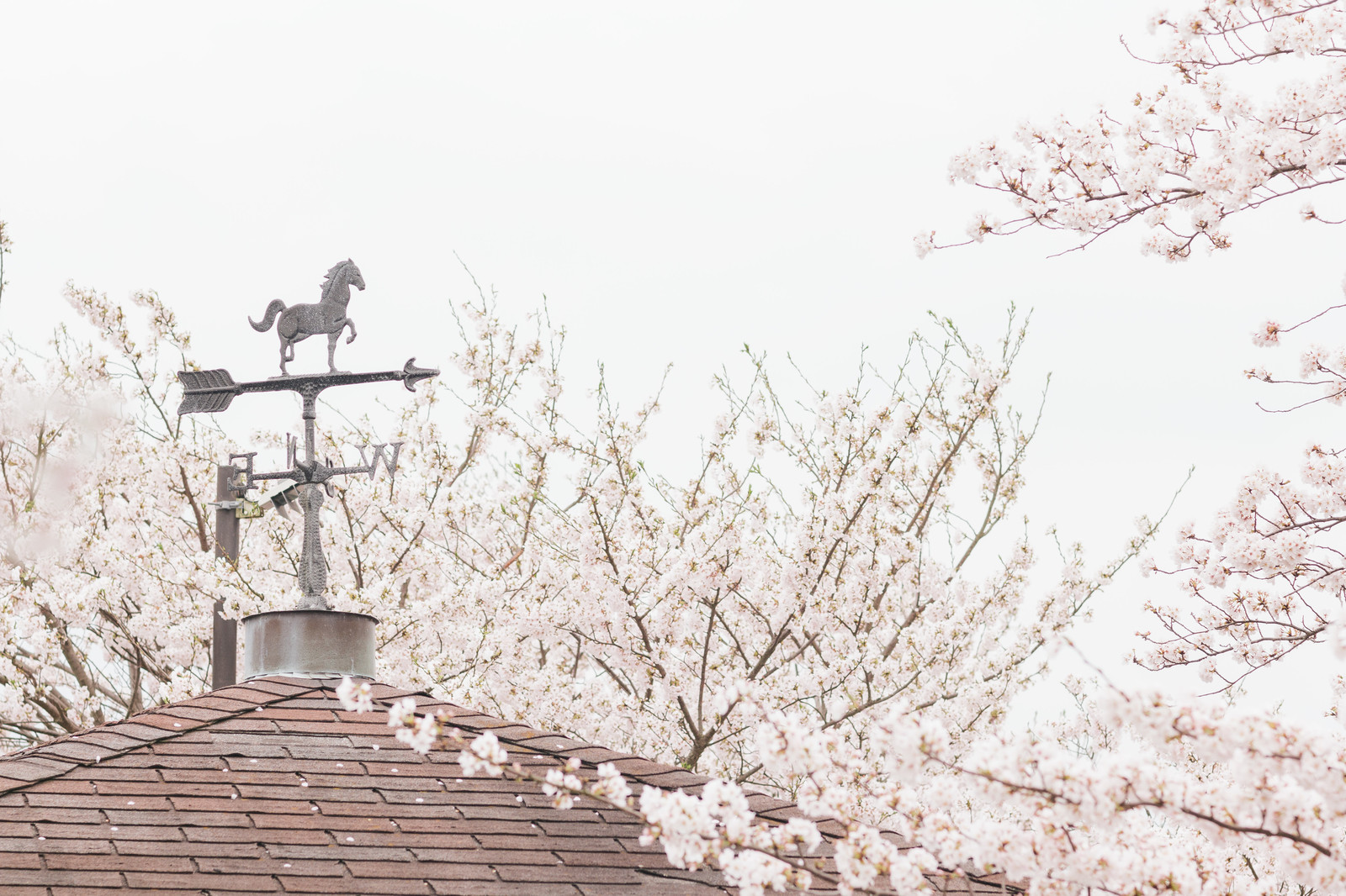 「風見鶏と桜」の写真