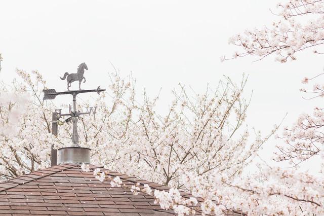 風見鶏と桜の写真