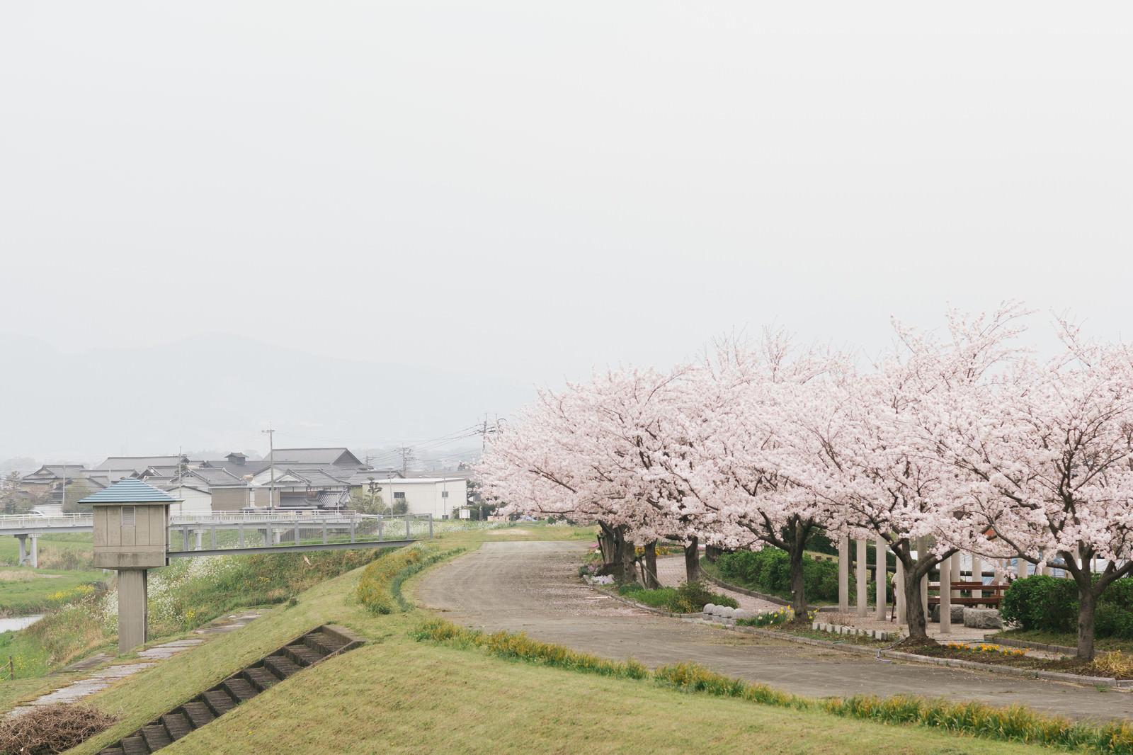 「河川敷沿いの桜(大刀洗公園横)」の写真