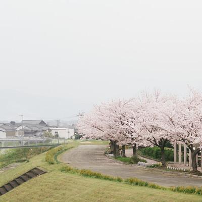 「河川敷沿いの桜(大刀洗公園横)」の写真素材