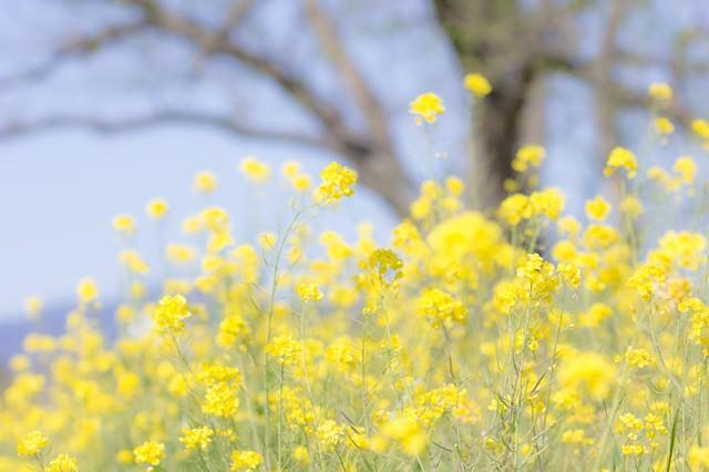 春を彩る菜の花