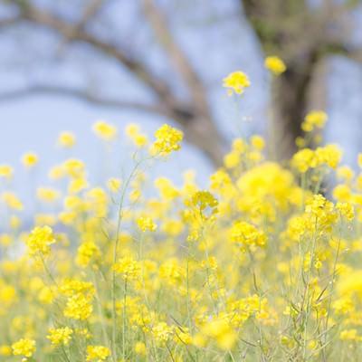 春を彩る菜の花の写真