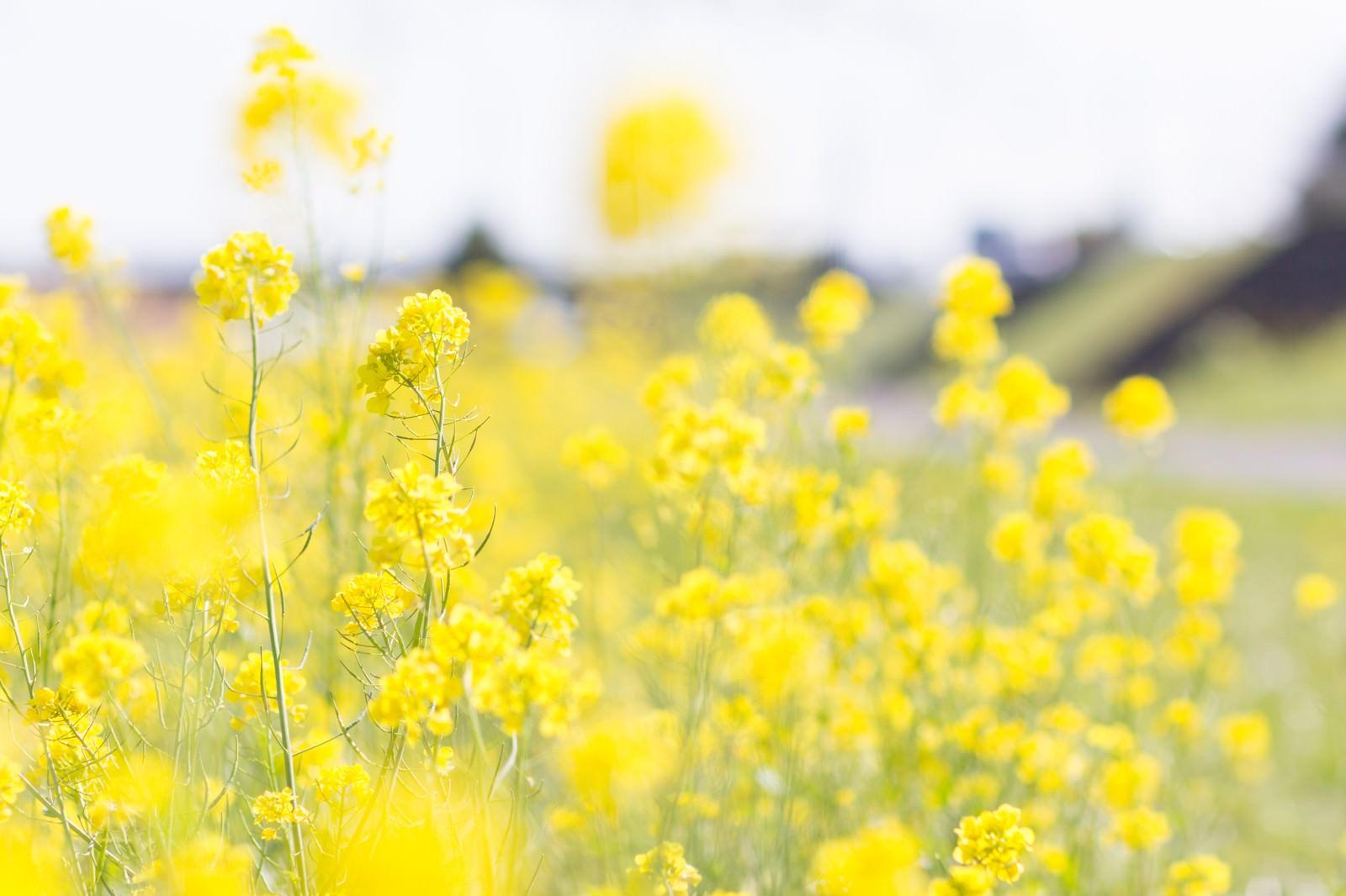 菜の花の季節のフリー画像(写真)