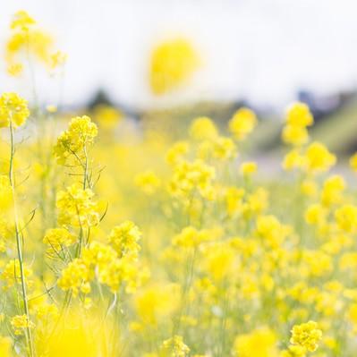 「菜の花の季節」の写真素材
