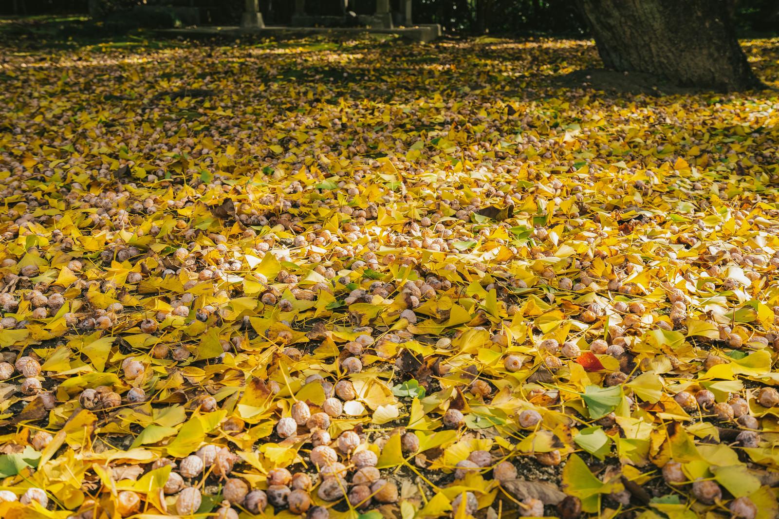「一面のイチョウと銀杏の種」の写真