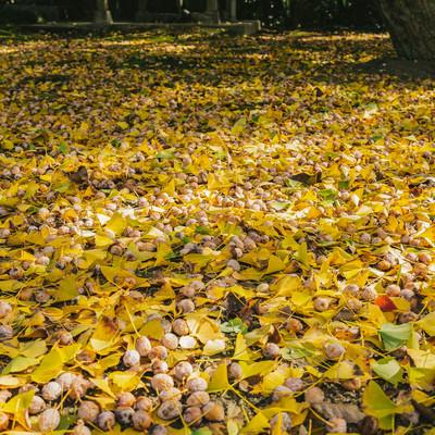 「一面のイチョウと銀杏の種」の写真素材