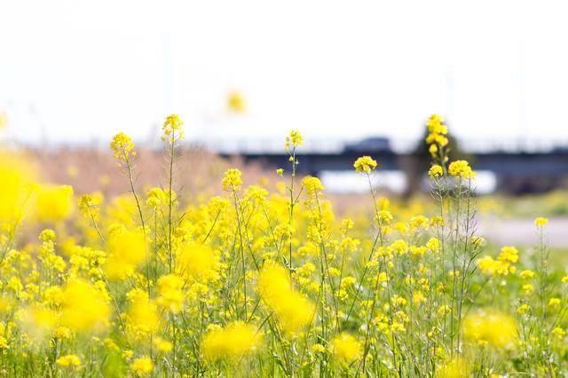 春を感じる菜の花の写真