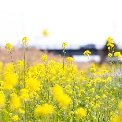 「春を感じる菜の花」の写真素材