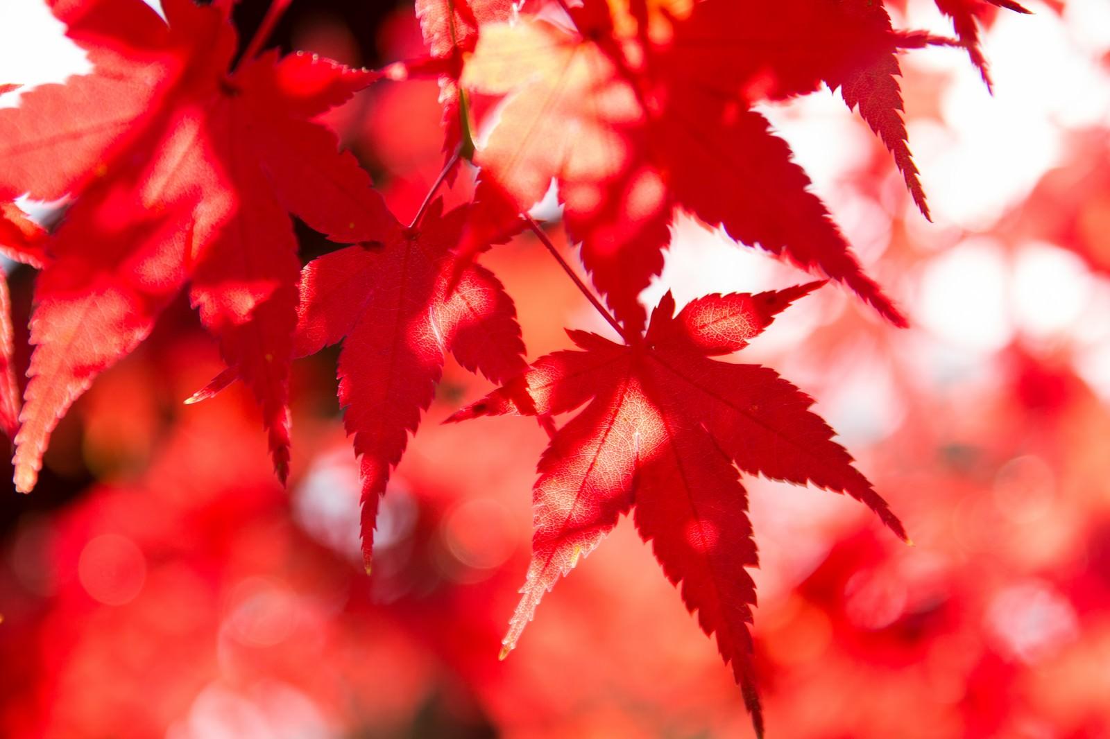 「鮮やかな彩りの紅葉」の写真