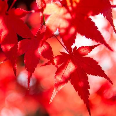 鮮やかな彩りの紅葉の写真