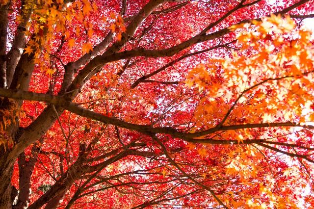 赤く染まった木の写真
