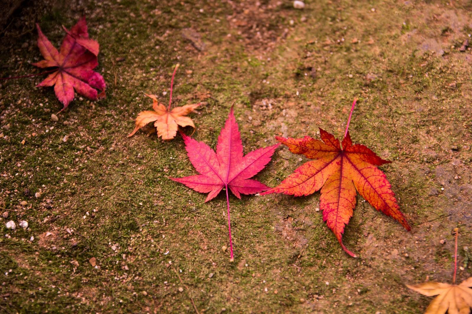 「紅葉した落ち葉」の写真