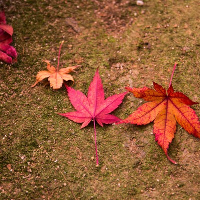「紅葉した落ち葉」の写真素材