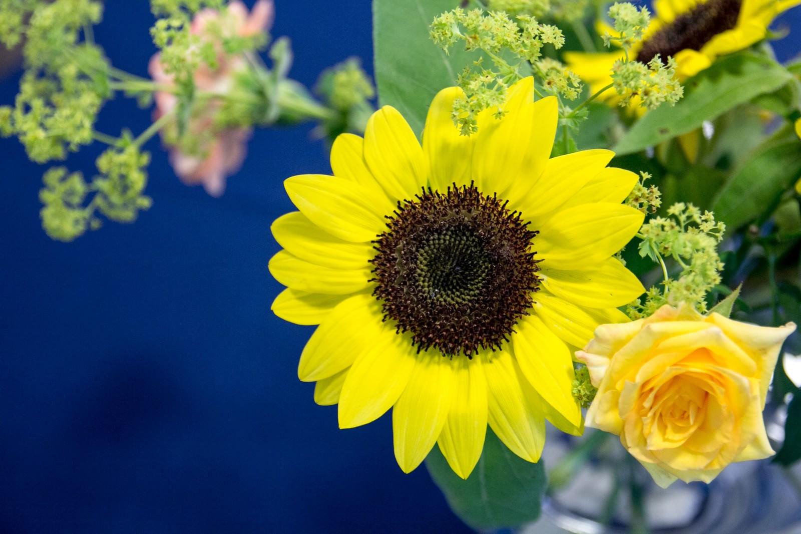 「花瓶のひまわり花瓶のひまわり」のフリー写真素材を拡大