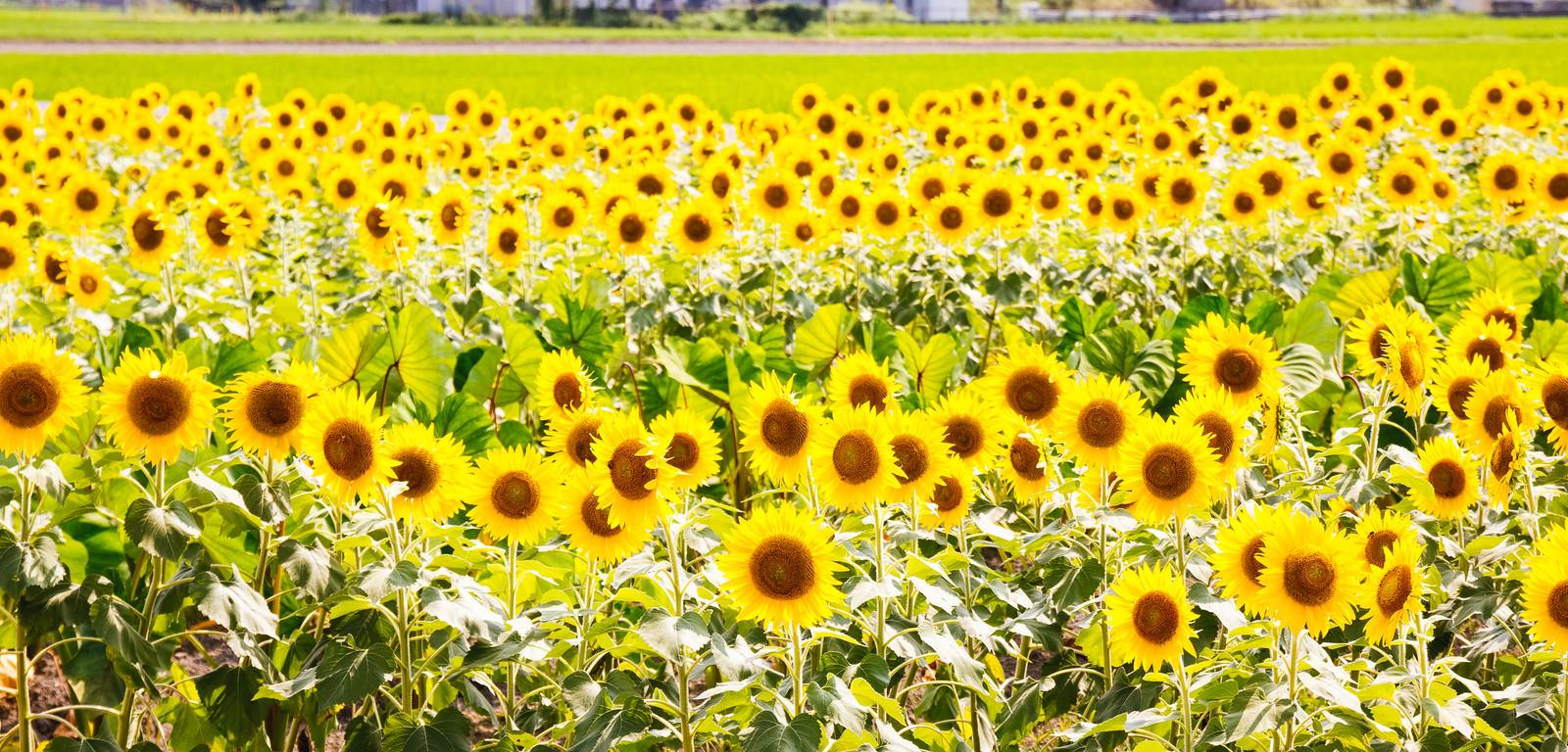 「ぎっしり向日葵畑」の写真
