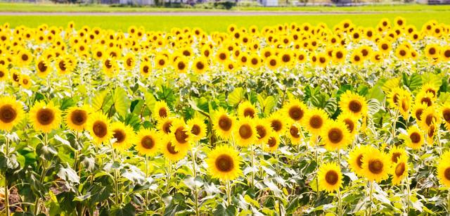 ぎっしり向日葵畑の写真