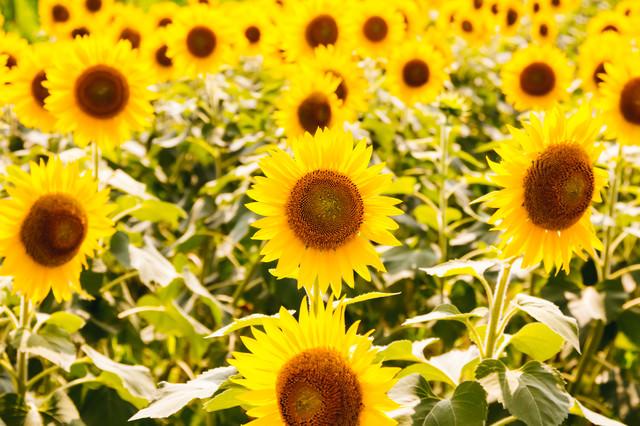 真夏の向日葵の写真
